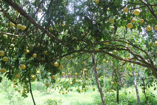 Vườn bưởi may mắn thoát được sức tàn phá của cơn bão số 10, còn lại hơn 5000 quả. Dù bị bão số 10 gây thiệt hại tương đối, tuy nhiên vườn bưởi vẫn rất thu hút.
