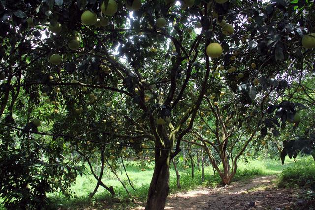 Tại vườn bưởi này có nhiều gốc quý, được gọi là cụ bưởi. Có những gốc đạt hàng trăm quả mỗi mùa.