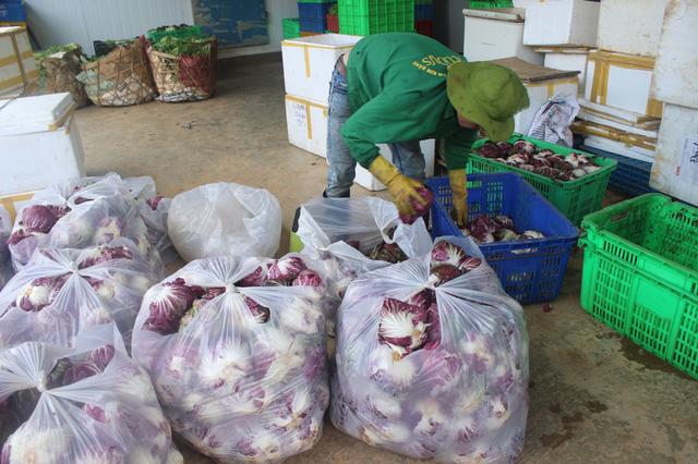 Nông dân đang thu hoạch cần tây