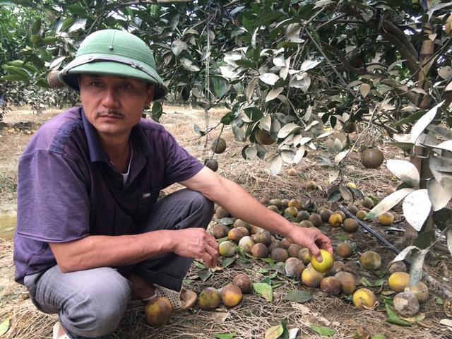Khoảng 900 cây cam bị rụng đầy gốc