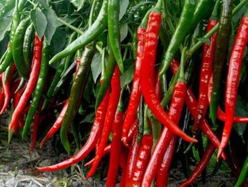 Quả ớt cay Cayenne có chiều dài khoảng 25-30cm.
