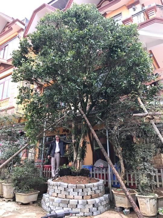 Trong 4 cây mộc hương ông mua được, hiện có một cây ông trồng trước cửa nhà