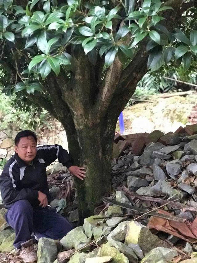 Ông Minh chi tới gần 4,5 tỷ để mua 4 cây mộc hương cổ thụ về trồng trong vườn nhà