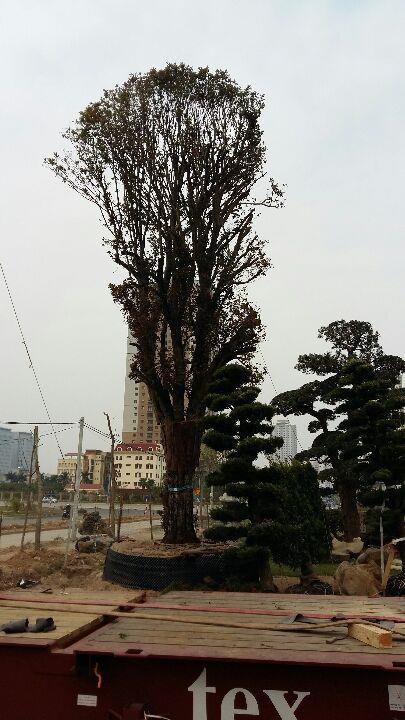 Cây mộc hương được đánh từ Nhật về Việt Nam cũng dễ trồng bởi từ bên Nhật đã được thợ cây xử lý mọi vấn đề.