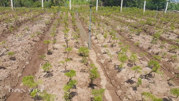 Vườn cây đinh lăng mới trồng của anh Thuận đang phát triển rất tốt và hứa hẹn sẽ cho bội thu.