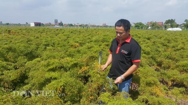Anh Thuận bên vườn đinh lăng tiền tỷ áp dụng công nghệ cao của gia đình ở tỉnh Nam Định. Nghề làm giàu từ cây đinh lăng đang khá hót, các sản phẩm làm ra tiêu thụ rất dễ - anh Thuận nói.