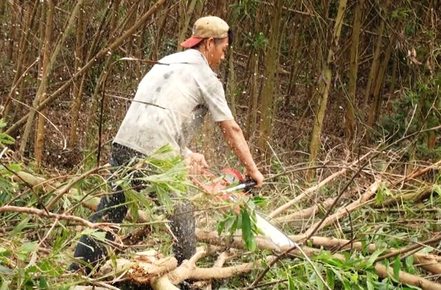 Người trồng keo lại cũng điêu đứng sau bão số 12 vì các nhà máy không thu mua giá thấp