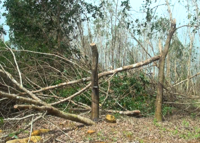 """Phú Yên: Cao su, keo đổ rạp sau bão, nông dân """"nuốt"""" nước mắt bán giá rẻ"""