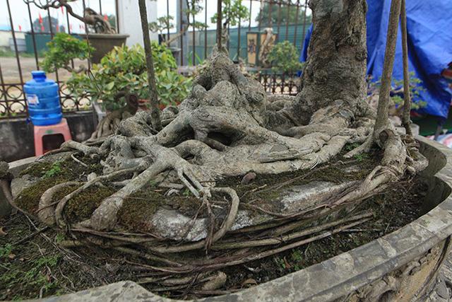 Hai bệ cây tùng có giá 600 triệu đồng và 700 triệu đồng đặt ngay mặt đường