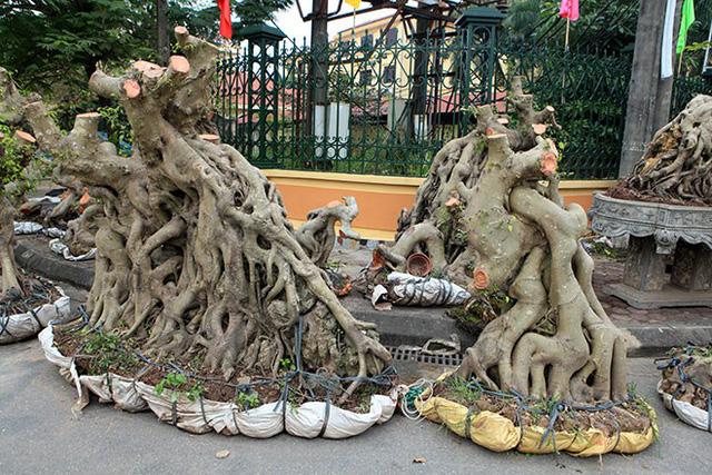 """Những gốc cây """"khủng"""" có giá 60 – 70 triệu đồng"""