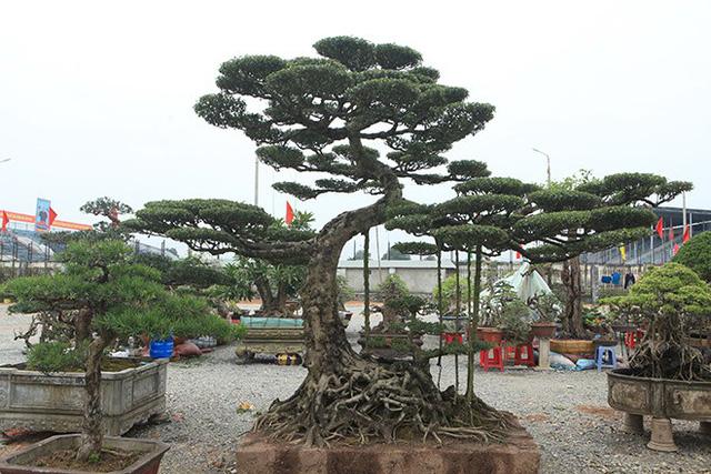 Cây mai chiếu thủy có giá 300 triệu đồng. Theo chủ nhân, sở dĩ cây này có giá trị vì là cây lâu năm và lại có hoa thơm.