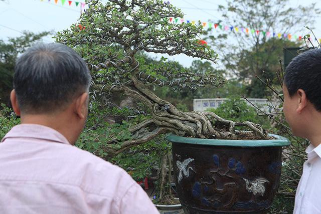 Tuy ngày 2/12, BTC mới nhận cây nhưng từ mấy ngày nay, nhiều cây cảnh từ khắp mọi miền đất nước đã hiện diện ở triển lãm. Trong ảnh là cặp cây xanh dáng quyền có giá 300 triệu đồng.