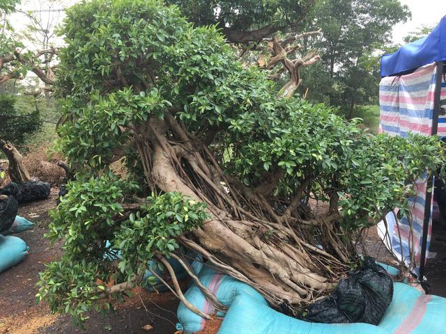 Chủ vườn miền Nam chở ra Hà Nội rất nhiều cây nhìn khá lạ lẫm