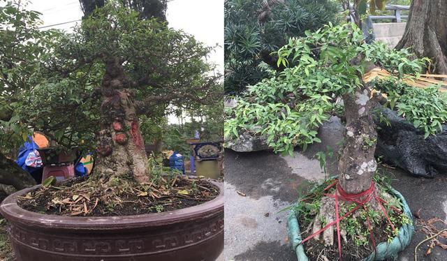 Trông khá nhỏ nhắn xinh xắn nhưng cây mai chiếu thủy lá tung (lá nhỏ) bên trái có giá lên tới hơn 30 triệu đồng. Nó gấp 3 lần cây mai chiếu thủy bên phải chỉ bởi nó là loại lá nhỏ, đẹp và hiếm hơn.