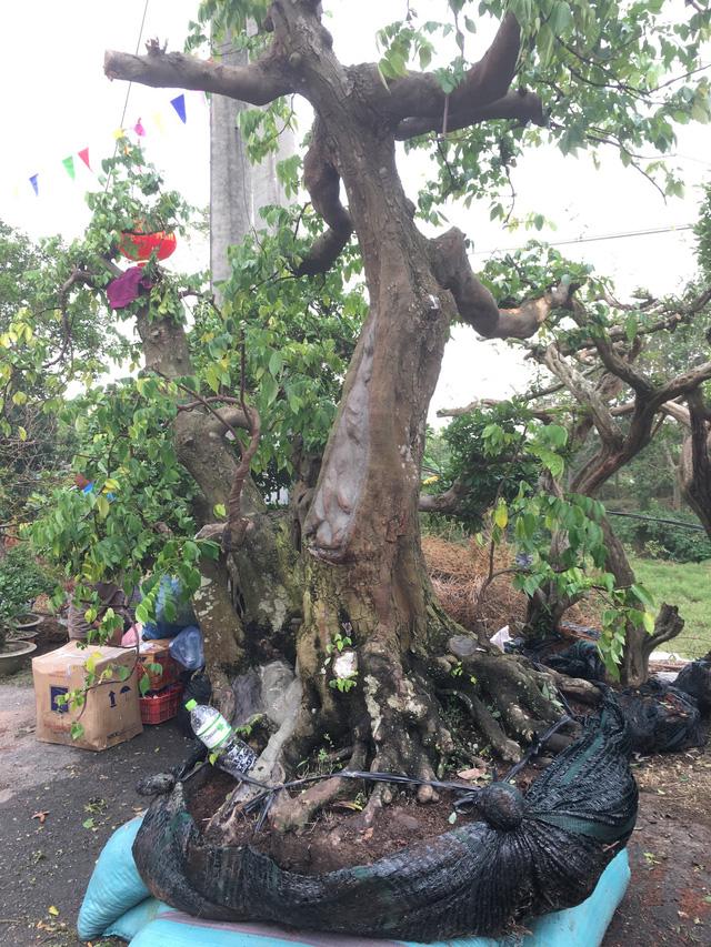 Sanh, sung và khế là những cây cảnh phổ biến ở hội chợ. Cây khế này được chủ vườn ước tính khoảng 50 - 70 tuổi, cao 4m với giá bán dự tính là 200 triệu đồng.