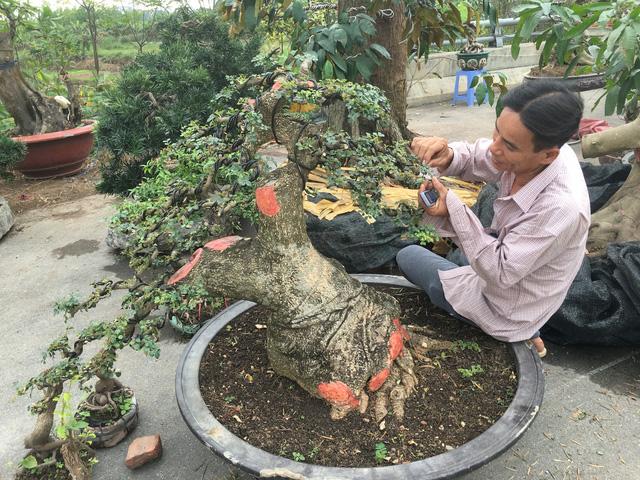 Một cây khế gân cảnh cũng có giá lên tới 30 triệu đồng. Mức giá đó là của những ngày đầu chào bán và chưa mặc cả. Nhiều chủ vườn sẵn sàng ra lộc cho khách nếu thực sự thích cây.