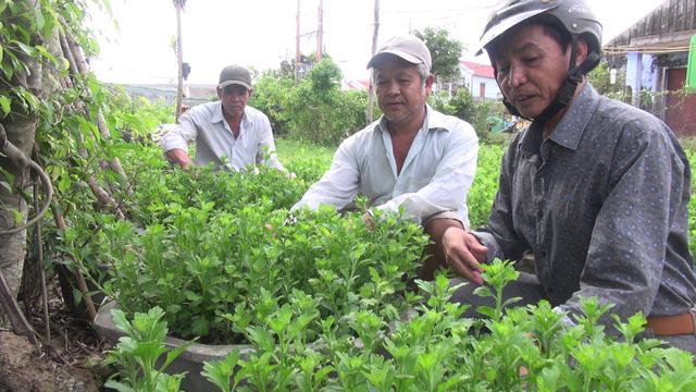 """Phú Yên: Người dân """"đứt ruột"""" nhổ hàng ngàn chậu hoa Tết vì nghi giống kém chất lượng"""