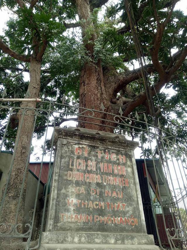 Cây trôi cổ thụ, quý hiếm này đã được người dân góp tiền xây tường rào sắt để bảo vệ.