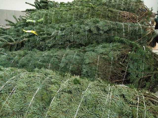 Mặt hàng cây thông thật chơi mùa Noel đang rất hút khách, nhiều nơi chỉ nhập đủ trả hàng hoặc dư số lượng rất ít bán lẻ