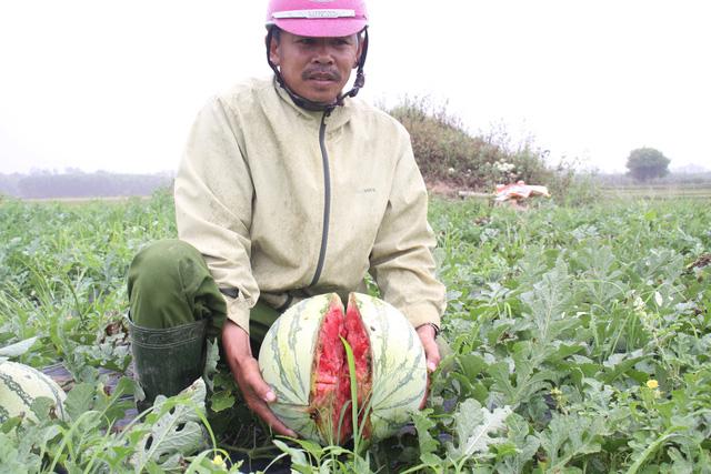Tình trạng cung vượt cầu khiến người nông dân trồng dưa hấu gặp nhiều khó khăn trong việc tiêu thụ sản phẩm