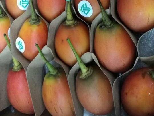 Cà chua thân gỗ độc lạ xuất hiện tạo nên cơn sốt được mọi người tranh nhau đặt mua dù giá lên tới 1 triệu đồng/kg