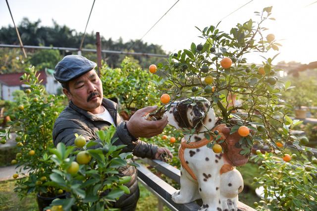 """Ông Xuân cho biết: """"Cây quất được trồng trong giỏ bé, do ít đất nên việc chăm sóc, cắt tỉa cây khó khăn hơn những cây bình thường""""."""