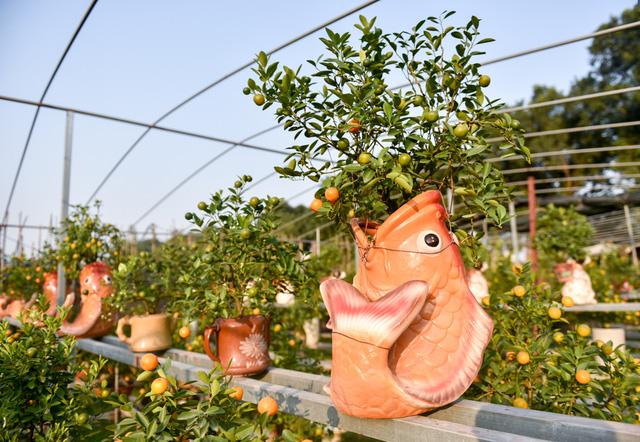 Một chậu quất cảnh bonsai được trang trí tỉ mỉ, cầu kì.