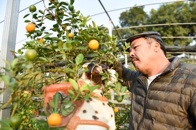 """""""Việc trồng quất bonsai như thế này khá kỳ công và tỉ mỉ, đòi hỏi người chăm sóc phải có kinh nghiệm, nước tưới phải đủ ẩm mà không quá ướt..."""", ông Xuân cho biết."""