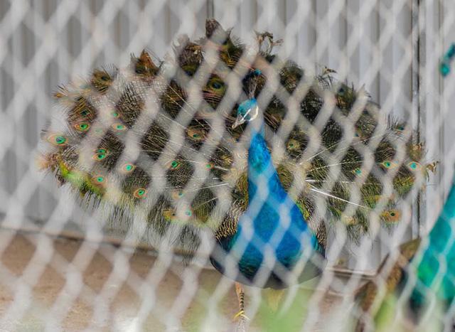 Vào thời kỳ sinh sản, chim công đực thường có biểu hiện múa xòe đuôi, khoe bộ lông rực rỡ