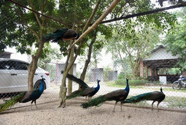 Vài năm trở lại đây, chim công được nhiều người săn tìm làm quà biếu Tết