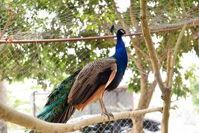 Chim công trưởng thành phải nuôi từ 3 – 5 năm mới có bộ lông đẹp