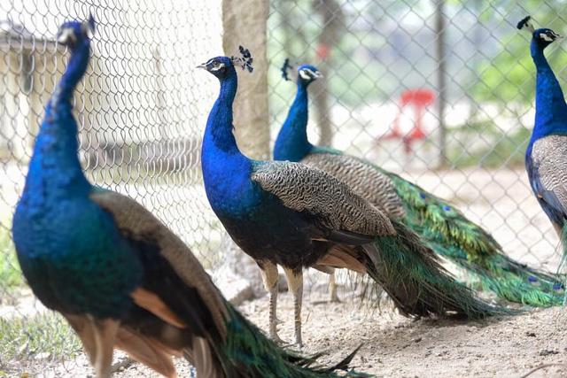 Chim công có bộ lông sặc sỡ được nhiều người quan niệm có ý nghĩa về phong thủy, tài lộc