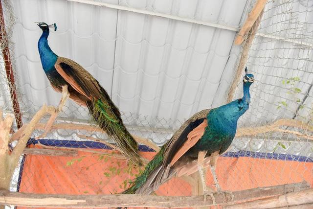 Thời điểm này, tại nhiều trang trại đã tấp nập khách đến đặt mua chim công về biếu Tết