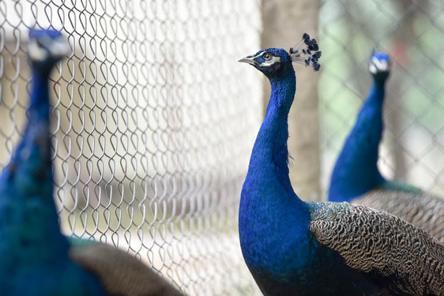 Gần Tết, giá chim công cũng tăng lên và có giá bán khoảng từ 10 -14 triệu đồng/ cặp