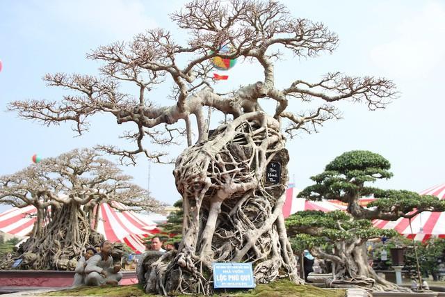 Siêu cây sanh có tuổi đời hàng trăm năm, nổi bật bởi bộ rễ sần sùi ôm trọn phiến đá cổ.
