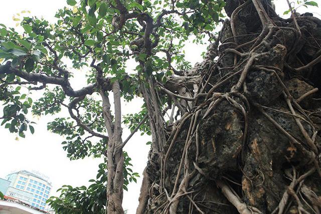 Nếu nhìn thoáng qua mặt trước của tác phẩm thì dễ nhầm tưởng đây là cây không thân, chỉ có hai cành tỏa về hai hướng, có rễ phụ phun ra tua tủa tạo thành lớp màng ôn trọn lấy viên đá.