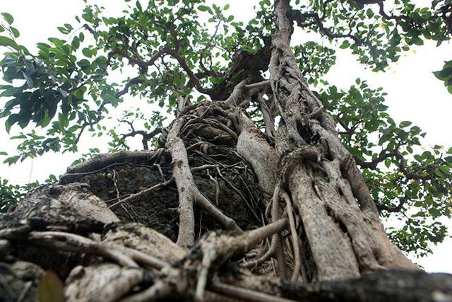 Dấu tích này cho thấy, rất có thể ban đầu đây là một cây sanh được dùng để ký vào hòn non bộ. Lâu ngày phần rễ đã phát triển dần và đến ngày nay gần như đã nuốt trọn hòn non bộ, thành cây sanh ôm đá nghệ thuật rất độc đáo.