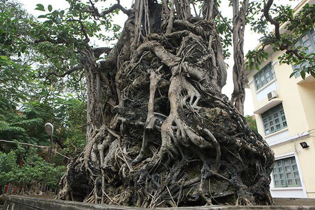 """""""Tôi mua cây sanh này cách đây gần 20 năm. Thời điểm đó, tôi phải đổi 8 lô đất ở Hà Nội, nếu quy đổi ra giá trị hiện tại phải vài triệu đôla"""""""