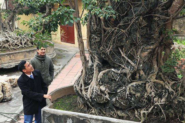 Cây sanh Mộc thạch nghênh phong cao 3m, chu vi của cả bộ rễ ôm đá này lên đến 5,5m.