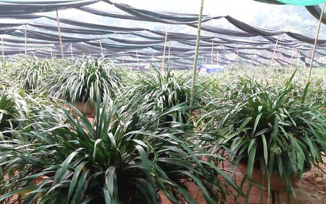 Loại lan này dù được trồng khá nhiều trên Sapa nhưng giá bán tới tay khách hàng vẫn vô cùng đắt đỏ