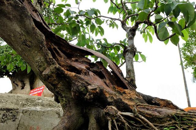 Cây sưa đỏ này có tuổi đời tới trăm năm, đường kính thân khoảng 30-40cm, chiều cao hơn 1 mét.