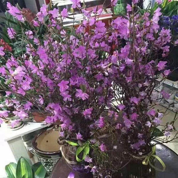 Theo người bán thì loại hoa này được nhập từ Trung Quốc, giá bán trên thị trường dao động từ 150.000-190.000 đồng/bó