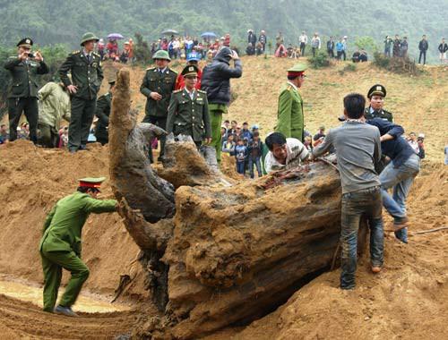 Cây sưa 200 tuổi tại đình làng Đông Cốc