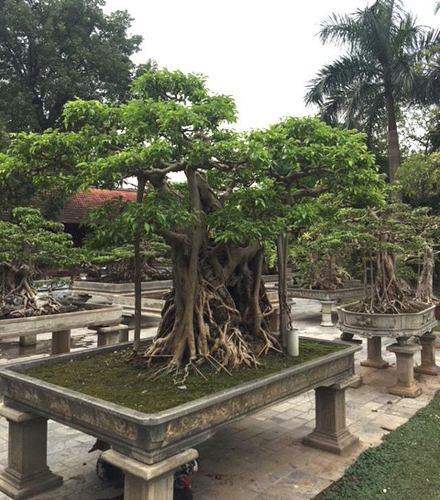 Một gốc cây cảnh khủng trong vườn với dáng thế đẹp hiếm có được xây chậu trồng chắc chắn