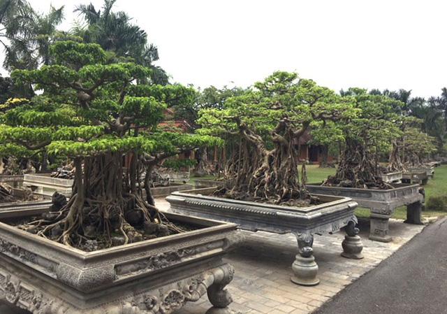 Những cây cảnh có giá trị được xếp thành hàng trong khuôn viên khu du lịch