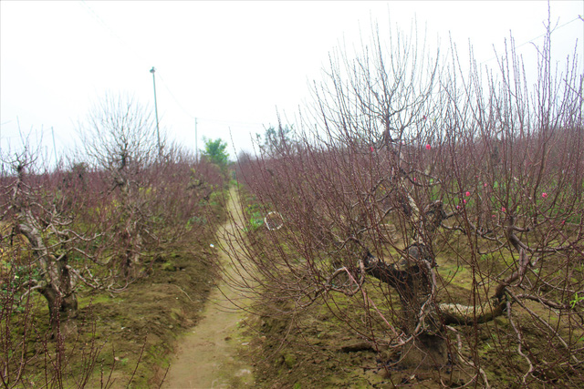 Nhiều chủ vườn đào tại Nhật Tân cũng chuẩn bị đào ghép để phục vụ cho dịp Tết những năm sau. (Ảnh: Hồng Vân)