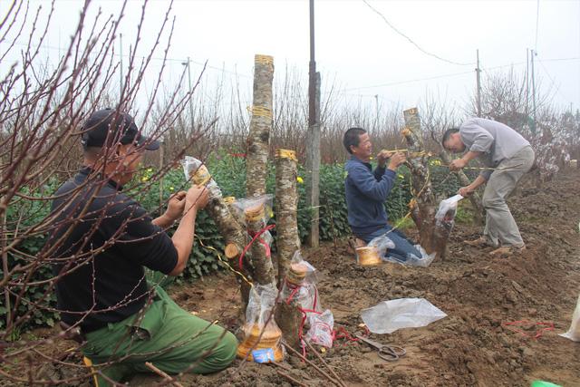 Anh Chung cùng người làm thuê đang chuẩn bị ghép cành đào Nhật Tân vào những gốc đào rừng. (Ảnh: Hồng Vân)