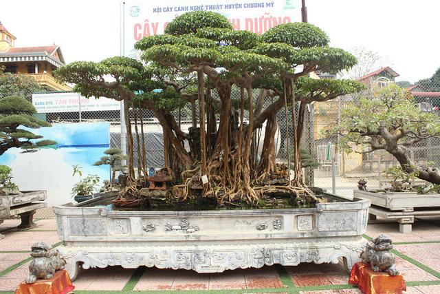 Cây sanh cổ có tuổi đời hàng trăm năm từng thuộc sở hữu của những đại gia nổi tiếng bậc nhất trong giới chơi cây.
