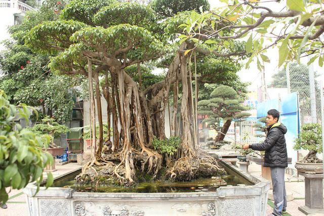 Được biết, để sở hữu được cây cảnh này, ông Minh Dưỡng phải chi trên 5 tỷ VNĐ.