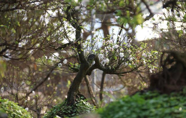 Chủ vườn mai này cho biết, giá mai trắng năm nay không có biến động nhiều so với năm ngoái, dạo động từ 1 đến 30 triệu đồng/cây, giá cho thuê khoảng 2/3 giá bán.
